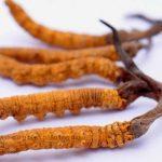 đông trùng hạ thảo Cordyceps sinensis 01