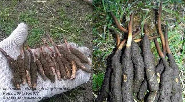 Cách sử dụng đông trùng hạ thảo dạng viên