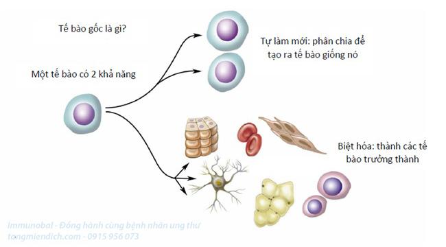 Đông trùng hạ thảo tăng sinh tế bào gốc