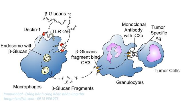 beta glucan trong điều trị ung thư